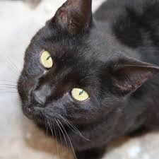 york chocolate. a cat named after delicious sweet treat can only be pleasure to have around. that is certainly true for the york chocolate, relatively new breed chocolate e
