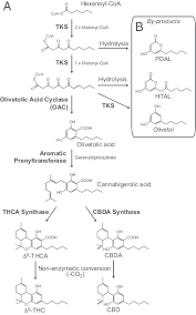 Cbd Decarboxylation Chart The Proposed Cannabinoid Biosynthetic Pathway A The