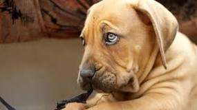 Image result for golden retriever with blue eyes