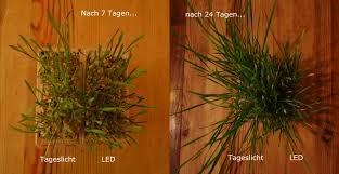 LED Beleuchtung: Pflanzen Stehen Sehr Dicht, Sind Kräftig, Etwas Kürzer Im  Längenwachstum Und Dunkelgrün.