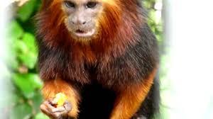 golden headed lion tamarin. golden headed lion tamarin eating.mov