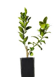 RARE Seeds  EBayFruit Salad Trees Usa