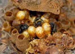 Image result for bumblebee nest