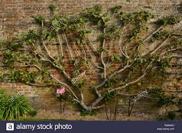 an espaliered fruit tree against a wall in the gardens at west dean
