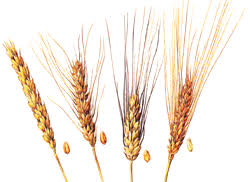 Реферат Интенсивная технология возделывания озимой пшеницы  Каждый вид пшеницы подразделяется на разновидности В основу деления видов на разновидности положены только морфологически устойчивые признаки колоса и
