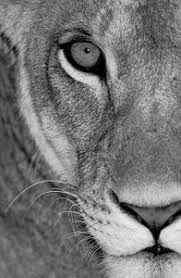 lioness black and white. Contemporary Lioness Black And White Lioness Photographs Inside 0