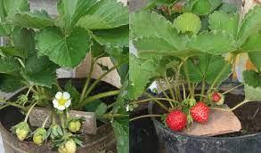 Cara Menanam Strawberry Di Pot Mudah Dan Cepat Berbuah