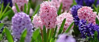 De hyacint: lieflijke bloemen voor de lente – Bakker.com