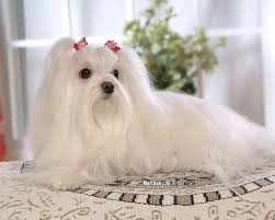 silky dog white. my dogs - maltese puppies wallpapers white puppy with silky hair wallpaper 23 dog w