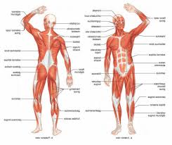 Diagram Of Human Muscle System - Human Anatomy Diagram