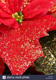 Weihnachtsstern Euphorbia Pulcherrima Mit Glitzer