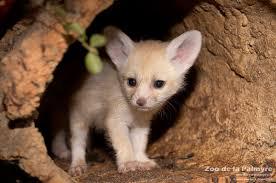 newborn fennec fox. Beautiful Newborn Fennec Fox In Newborn Fox