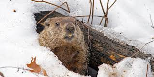 Image result for groundhog pic