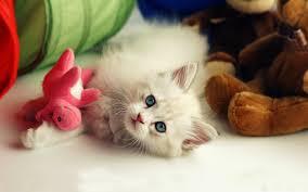 beautiful cute kitten desktop wallpapers