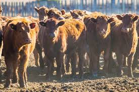 Feeder Cattle Futures Trading Charts The Low For Live Cattle And Feeder Futures What The Charts