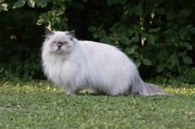 Cat Body Shape Chart Persian Cat Breed Information Pictures Characteristics Facts