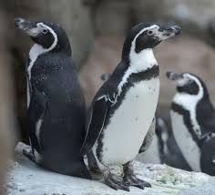oregon zoo penguins back home after home improvements photo essay oregon zoo penguins back home after home improvements photo essay oregonlive com