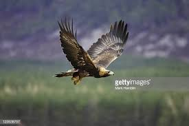 golden eagles flying. Delighful Golden Golden Eagle Aquila Chrysaetos Adult In Flight Scotland Captivebred  Bird Inside Eagles Flying O