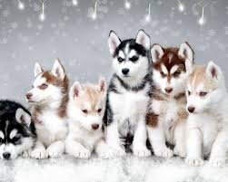 baby husky in snow. Wonderful Husky Husky Snow Puppy Wallpaper For Android Baby In S