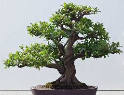 bonsai tree for office. Bonsai Tree Seeds, Pomegranate Dwarf Tree, Flowering Fruit Miniature Office Decor, 5 Seeds For
