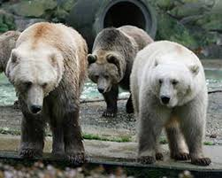 grolar bear size grizzly polar bear hybrids cross species hybridization