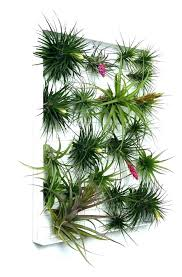 air plant wall mount wall mounted air plant containers air plant wall wall mounted air plant