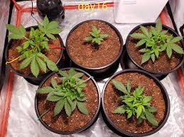 Grow Lights Massachusetts Northern Lights Auto Critical Mass Autoflowering Blue