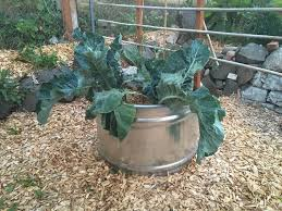 circular planter in my yard planted with 2 cauliflower plants there s a goji berry hiding