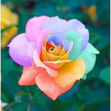 Fragrant Rose Bushes  Buy Garden Plants Online  Pinterest  Rose Fragrant Rose Plants