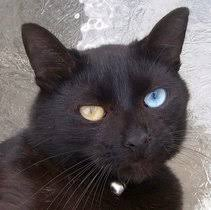 fluffy black kittens with blue eyes. Plain With Rare Oddeyed Black Cat In Fluffy Black Kittens With Blue Eyes C