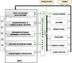 Реферат Системный аспект функционирования и исследование нервной  Многоуровневое управление ЦНС а также активизация определённых внутренних органов под влиянием нервной системы что создаёт оптимальные условия во
