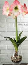 Image result for amaryllis bulbs