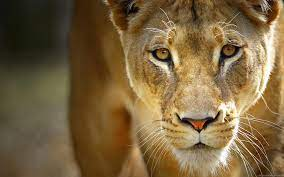 43+] Lioness Background on WallpaperSafari