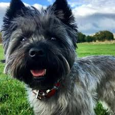 cairn terrier. Contemporary Terrier To Cairn Terrier