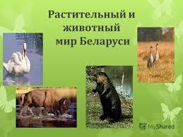 Презентация на тему Грубых слов не говорите только добрые  2 Растительный и животный мир Беларуси