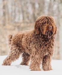 large non shedding dogs good for