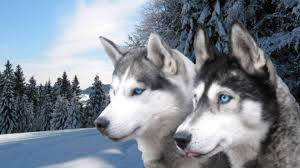 wallpapers husky widescreen backgrounds 1920x1080 images