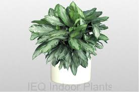 best low light office plants. Best Indoor Plants Brisbane Zanzibar Gem Low Light Office