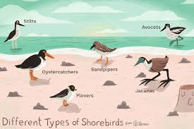 Common Shorebirds And Their Traits