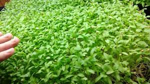 Image result for top 5 tips to grow coriander
