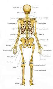 Bones Chart Of Human Bones Rear View Forensic