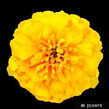 yellow marigold wild flower isolated on