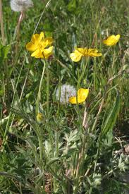 Ranunculus bulbosus - Wikipedia