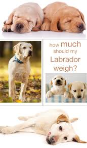 Black Lab Puppy Weight Chart Labrador Weight Charts How Much Should My Labrador Weigh