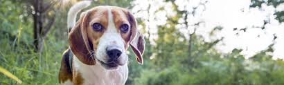 Beagle Facts - Dog Breed Selector Quiz ...