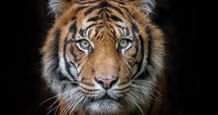 tiger face wallpaper hd. Plain Wallpaper Tiger Portrait 4k Ultra Hd Wallpaper On Tiger Face Wallpaper Hd R
