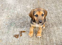 how to remove dog from carpet