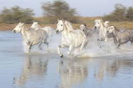white horses running. Plain White Throughout White Horses Running O