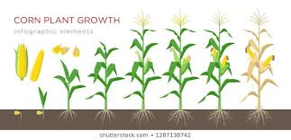 Wheat Growth Stages Chart Corn Growing Images Stock Photos Vectors Shutterstock