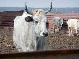 Интенсивное животноводство курсовая закачать Интенсивное животноводство курсовая